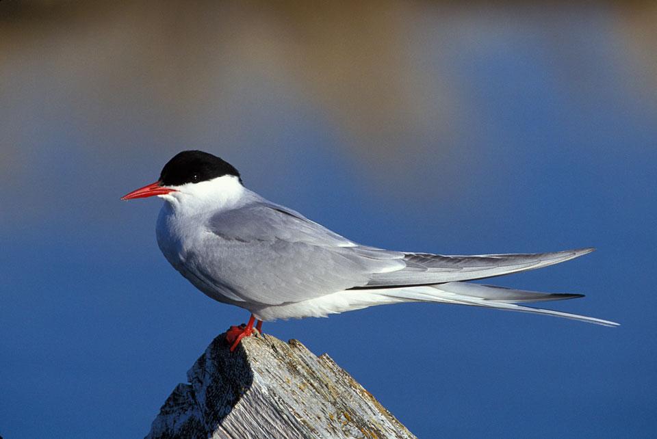 Artic-Tern